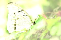 White Morpho butterfly in yellow monochrome Stock Photos