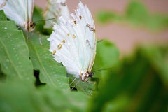 White Morpho butterfly on a leaf-Stock Photos Royalty Free Stock Photo