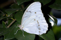 White morpho, morpho polyphemus Royalty Free Stock Photos