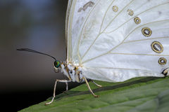 White morpho, morpho polyphemus Royalty Free Stock Photography