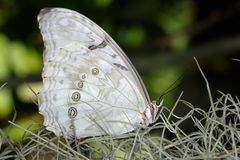 White morpho, morpho polyphemus Stock Photo