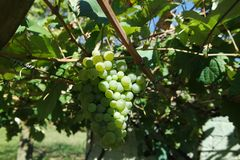 White moscat grapes royalty free stock photography