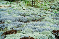 White moss. Closeup of the white moss in the forest Royalty Free Stock Photography