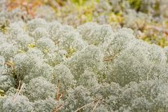 White moss. Pure nature: white moss on forest floor Royalty Free Stock Images