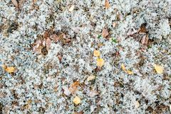 White Moss or Arctic Lichen or Reindeer or Cladonia Stellaris. Background Royalty Free Stock Image
