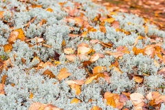 White moss with autumn leafs Royalty Free Stock Photo