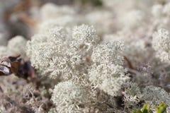 White moss Stock Image