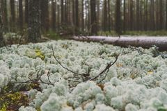 White moss in the dense forest. Nordic landscape Royalty Free Stock Photography