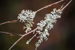 White moss on a dry branch on a dark background. Iceland moss closeup. beautiful forest plot. Royalty Free Stock Image