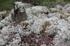 White moss. Royalty Free Stock Photography