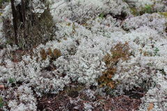White moss. White moss in the forest Stock Images