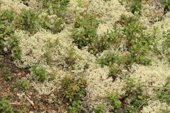 White moss in the forest. White moss on the edge of the forest Stock Photography