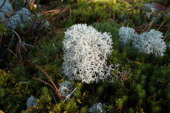 White moss. Growing in Finland Stock Image