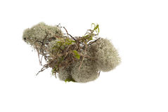 White moss. Isolated on a white background Royalty Free Stock Photography