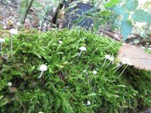 White moss mushrooms in the forest. The image shows white moss mushrooms. Russian forest. Village. Moss. Autumn Royalty Free Stock Photos