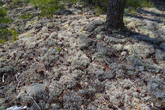White moss in the northern forest Stock Photography