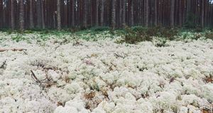 White moss in the pine forest. Nordic landscape Stock Photos