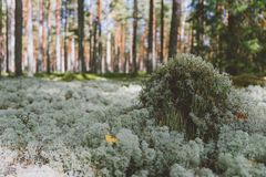 White moss in the pine forest by sunny day Stock Photos