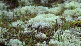 White Moss Reindeer lichen Growing in Nature
