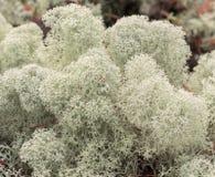 White moss. White reindeer moss photo Royalty Free Stock Photo