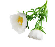 White moss rose Royalty Free Stock Photography
