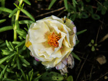 White moss rose  2. Close-up of a white moss rose growing in a flower bed Stock Image