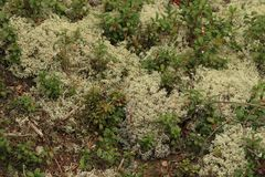 White moss. In the forest Royalty Free Stock Image