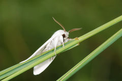 White Moth Stock Image