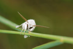 White Moth Stock Photos
