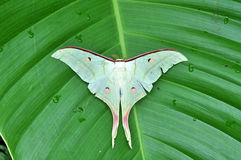 White Moth Butterfly Stock Image