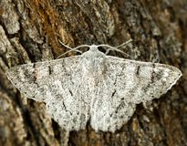 White moth with wings spread on tree bark macro stock images