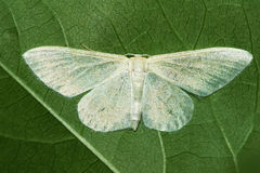 White moth. The close-up of a white moth on green leaf Royalty Free Stock Images