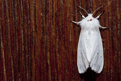 White moth closeup Royalty Free Stock Images