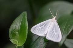White Moth in Durban South Africa stock image