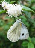 White moth Stock Photography