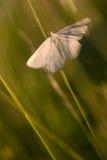 White moth Stock Images