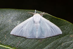 White moth on green leaf Royalty Free Stock Images