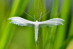White moth in natural habitat (pterophorus pentadactyla) Royalty Free Stock Photo