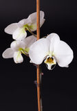 White moth orchid on black Royalty Free Stock Image