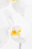 White Moth orchid extreme close up Stock Images