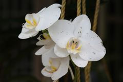 White Moth Orchid Flower Stock Photography