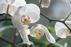 White Moth Orchids Stock Photography