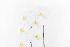White Moth Orchids close up Stock Photography