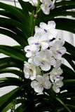 White Moth Orchids Flower with green orchids leaf background. At Garden Fair and Vegetation Contest 2017 in Bangkok Thailand Royalty Free Stock Photo