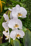 White Moth Orchids Stock Photos