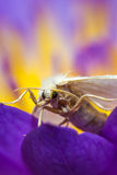 White moth on purple lotus Stock Photos
