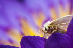 White moth on purple lotus Stock Images