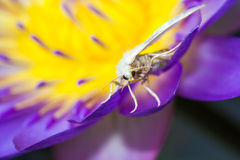 White moth on purple lotus Royalty Free Stock Photography
