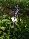 White moth sitting on a flower lit by the sun. Lilac flower and white moth in a green grass stock images