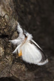 White moth sitting on tree. Stock Photography